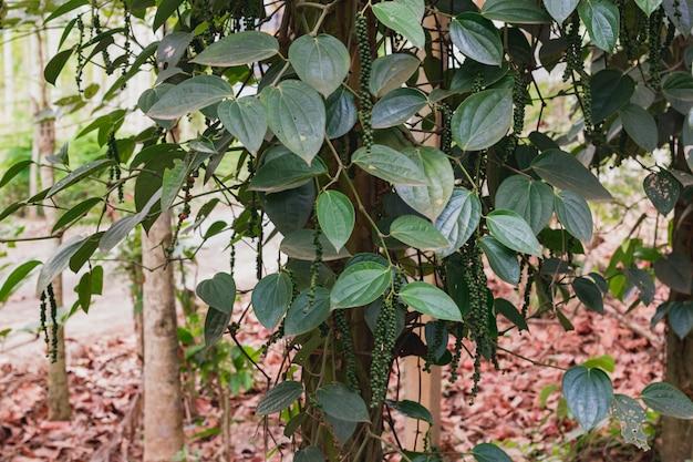 Świeży zielony ceylon pieprz (dudziarz nigrum linn) na drzewie w przyrodzie