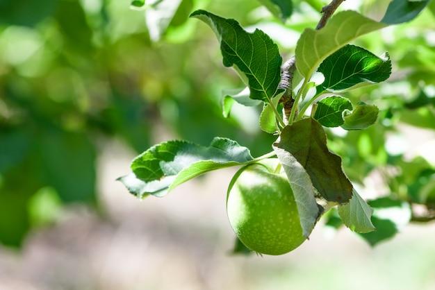 Świeży zielony jabłko na drzewie, zamazany tło.