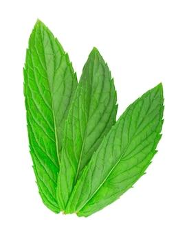 Świeży zielony liść melisy na białym tle