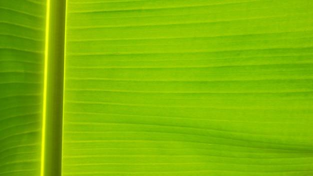 Świeży zielony liść tekstury tło banan