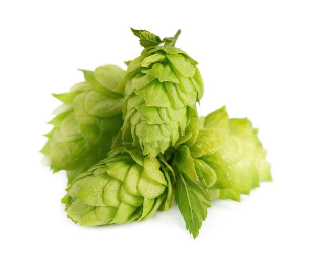 Świeży zielony oddział chmielu, na białym tle na białym tle. szyszki chmielowe z liściem. ekologiczne kwiaty chmielu. ścieśniać.