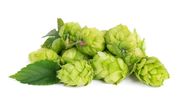 Świeży zielony oddział chmielu, na białym tle na białym tle. szyszki chmielowe z liściem. organiczne kwiaty chmielu. ścieśniać.