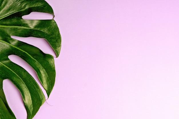Świeży zielony tropikalny monstera liść na purpurowym tle