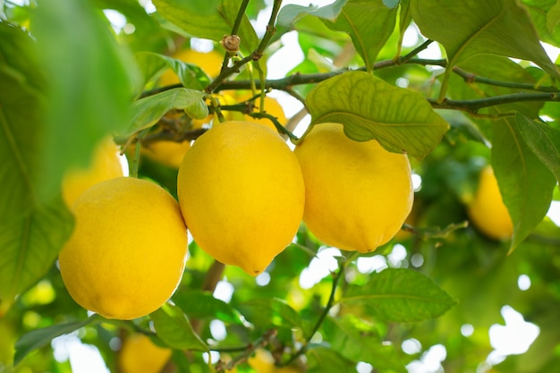 Świeżych cytryn organicznych na drzewie w sadzie zbieranie zbiorów