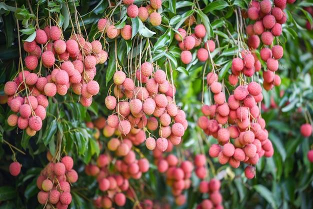 Świeżych dojrzałych owoców liczi powiesić na drzewie liczi w ogrodzie