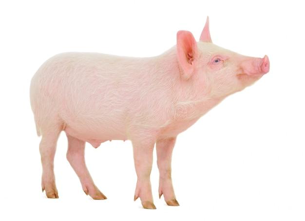 Świnia na białym tle