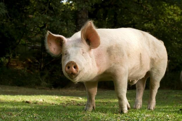 Świnia patrzy bezpośrednio w kamerę
