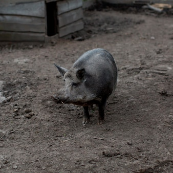 Świnia pod dużym kątem w gospodarstwie