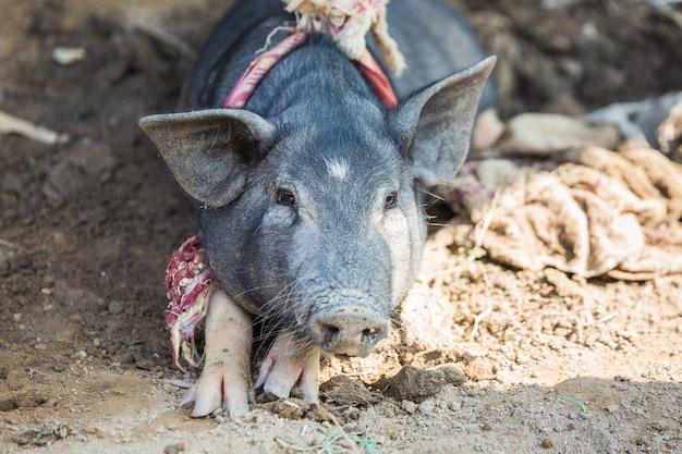 Świnia w błocie