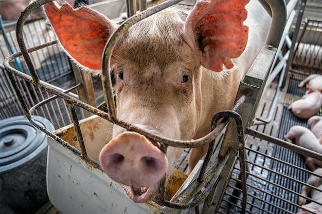 Świnie w hodowlach trzody chlewnej, przemysł trzody chlewnej