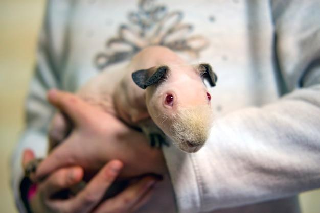 Świnka morska łysa zabawna z łapami w ramionach dziecka, cavia porcellus czerwona na ściółce z trocin w klatce bokserskiej selektywne skupienie, nieostre