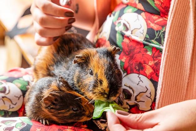 Świnka morska na kolanach osoby jedzącej zielony liść.