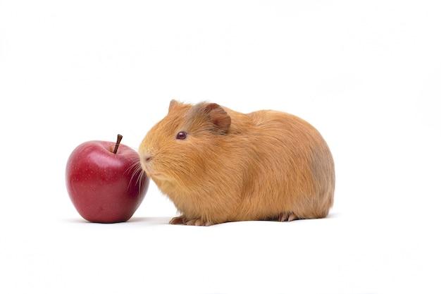 Świnka morska z jabłkiem na białym tle