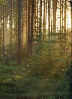 Świt w lesie, promienie słońca przenikają przez sosny i drzewa, malując las w ciepłym kolorze.