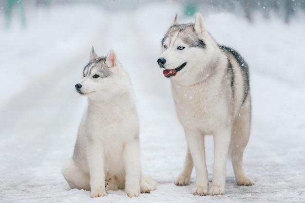 Syberyjska husky para w zimie