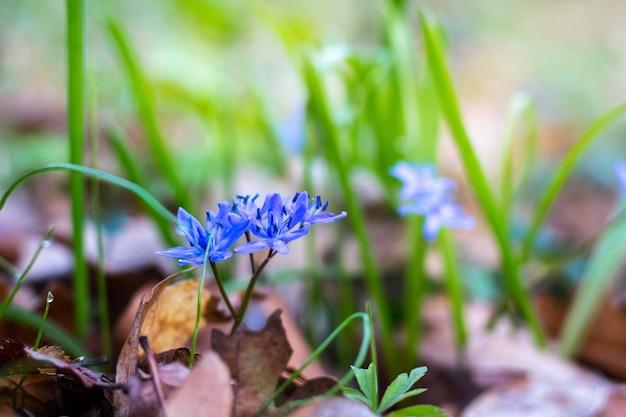 Syberyjski cebulica (scilla siberica) lub niebieski przebiśnieg w wiosennym lesie