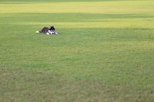 Syberyjski szczeniak na zielonym gazonie.