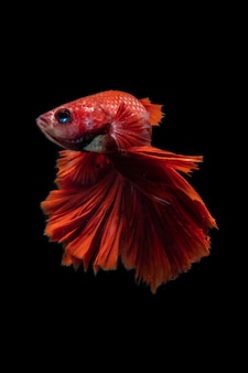 Syjamska ryba betta piękny kolor na czarnym tle