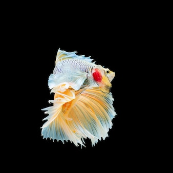 Syjamska ryba walcząca
