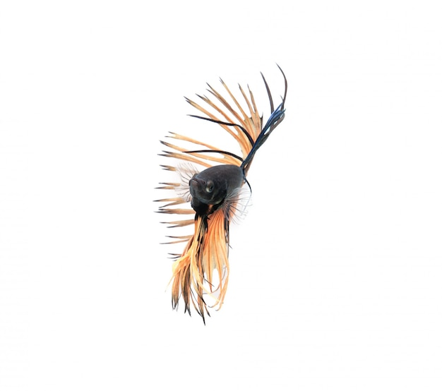 Syjamski bój ryba pokazuje pięknego żebra ogon, betta ryba odizolowywająca na białym tle.