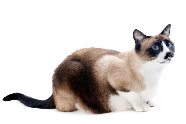 Syjamski kot na białym tle