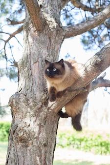 Syjamski niebieskooki kot siedzi na gałęzi drzewa. kot tajski