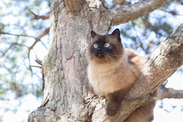 Syjamski niebieskooki kot siedzi na gałęzi drzewa