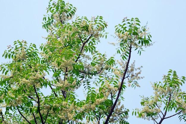 Syjamskie drzewo neem, święte drzewo, indyjskie drzewo margosa, duma chin (azadirachta indica a.juss).