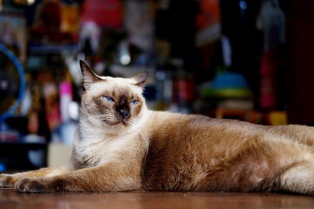Syjamskiego kota obsiadanie i relaksuje na drewnianej podłoga w domu, tajlandia