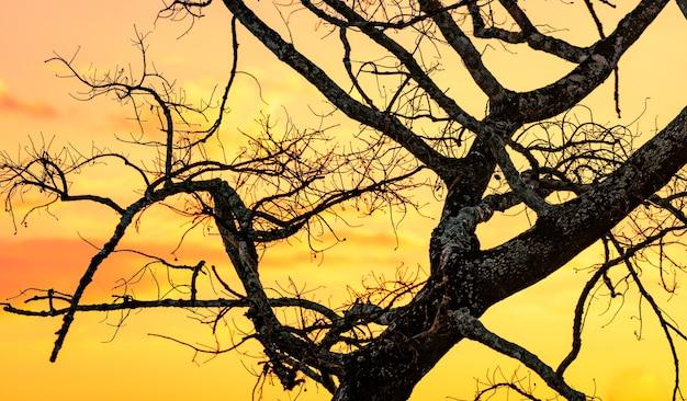 Sylwetka bezlistne drzewo i niebo zachód słońca. martwe drzewo na złotym niebie słońca. cicha i spokojna scena. piękny wzór gałęzi. piękno natury. susza latem. wieczorne niebo.