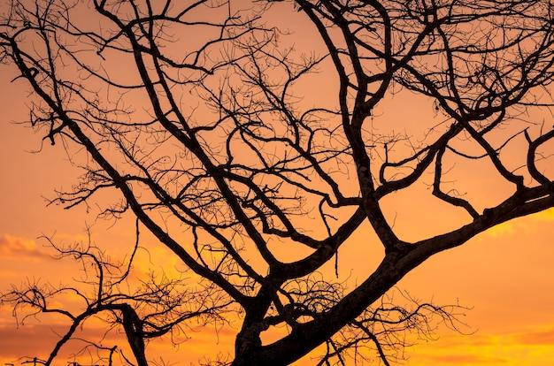 Sylwetka bezlistne drzewo i niebo zachód słońca. zmarłe drzewo na tle złotego nieba słońca.