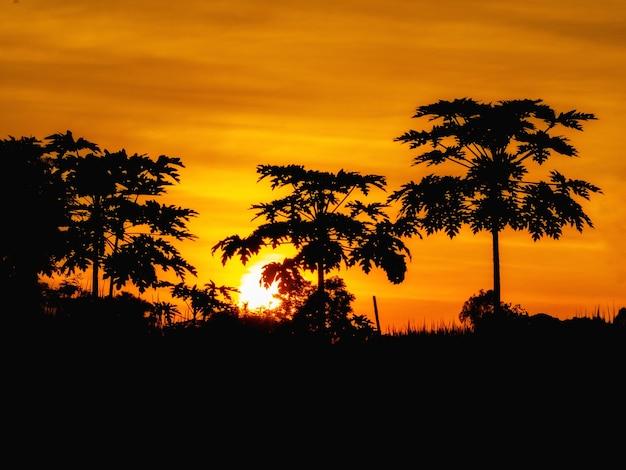 Sylwetka drzew papai o zachodzie słońca