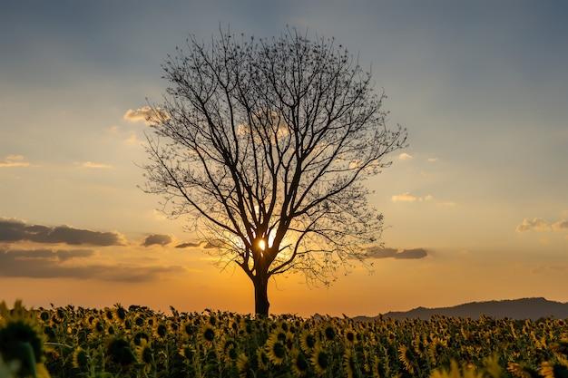 Sylwetka drzewa z zachodem słońca niebo.