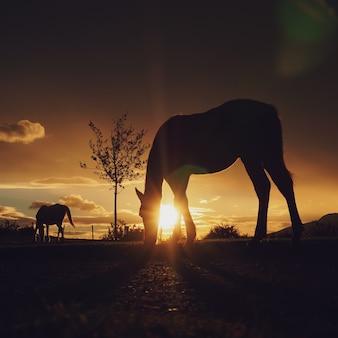 Sylwetka konia i zachód słońca na polu, motywy zwierzęce
