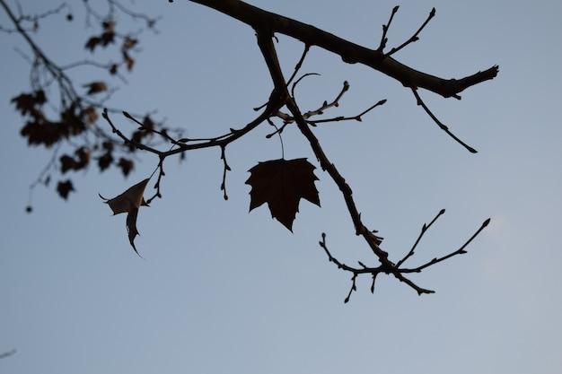 Sylwetka liścia platana zwisającego z gałęzi drzewa