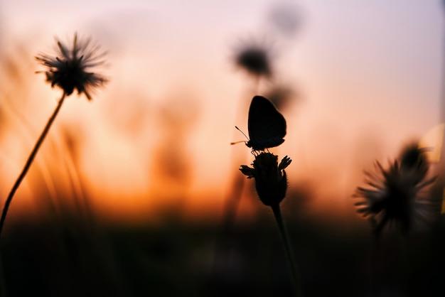 Sylwetka malutka głowa kwiatu i maślanka podczas zachodu słońca