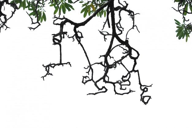 Sylwetka nagie gałąź i zieleń liście odizolowywający na bielu