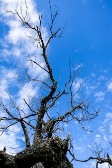 Sylwetka nagiego wysuszonego drzewa na niebieskiego nieba tle.