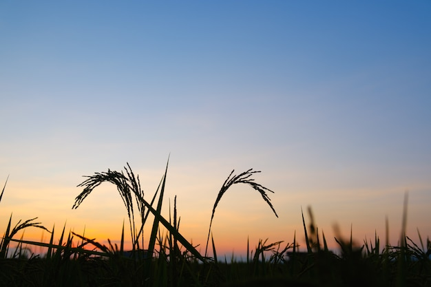 Sylwetka ryżowy zmierzch lub słońce wzrasta czas z kopii przestrzenią