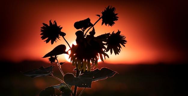 Sylwetka słonecznika na tle zachodu słońca. cudowny letni krajobraz. selektywne skupienie. naturalne tło lub baner z miejscem na tekst.