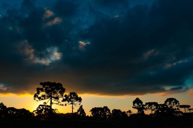 Sylwetki araucarias na zachodzie słońca w serra de santa catarina w brazylii