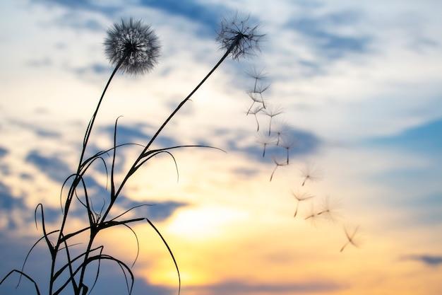Sylwetki latających nasion mniszka lekarskiego na tle zachodu słońca nieba. natura i botanika kwiatów