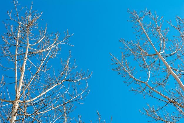 Sylwetki nagich drzew na tle błękitnego nieba