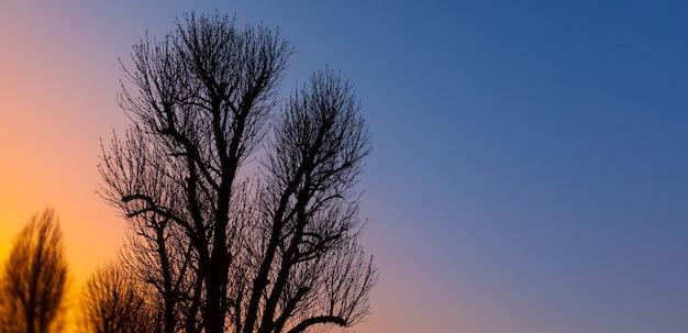 Sylwetki nagich gałęzi dużych drzew na tle wczesnego poranka niebiesko-różowo-pomarańczowego i żółtego nieba