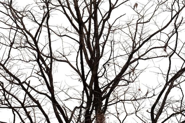 Sylwetki nieżywy drzewo lub suchy drzewo na białym tle z ścinek ścieżką.