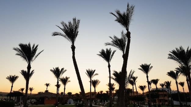 Sylwetki palm na tle nieba podczas zachodu słońca. drzewa kokosowe, tropikalne drzewo egiptu, lato drzewo. rodzina jednoliściennych, drzewiastych roślin o nierozgałęzionych pniach.
