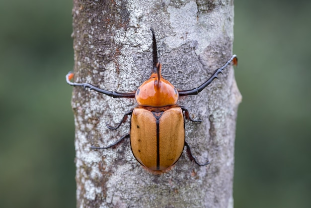 Symetria chrząszcza nosorożca przytulającego się do drzewa