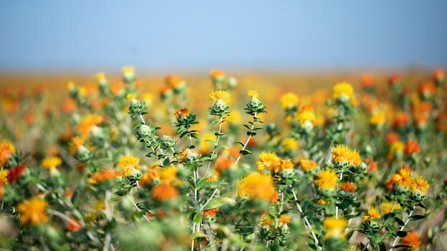 Szafran bękartowy kwitnący na polu