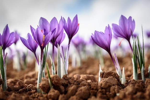 Szafranowy kwiat z poranną rosą