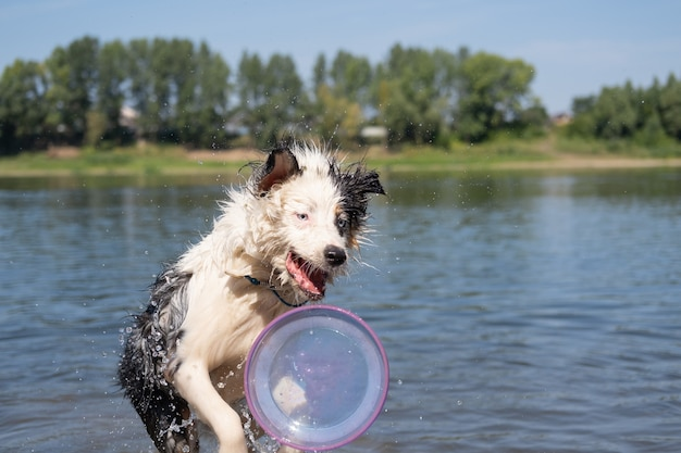 Szalony mokry owczarek australijski blue merle pies bawi się latającym spodkiem latem nad rzeką. rozbryzg wody. baw się ze zwierzętami na plaży. podróżuj ze zwierzętami.